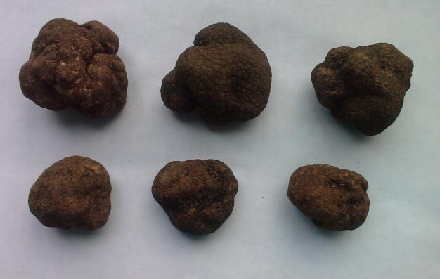 云南野生菌常见种类(多图)